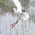 Ibis Soft Water Landing by Carol Groenen