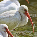 Ibis Three by Deborah Benoit