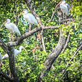 Ibises In A Tree by Claudia M Photography