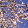 Ice Branches by Tammy Bullard