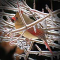 Ice Cage - Female Cardinal by MTBobbins Photography