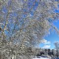 Ice Laden Birches by Deborah Benoit