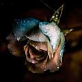 Iceberg Rose by Rosemary Smith