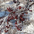 Iced Crab Apples by Dmytro Toptygin