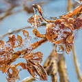 Iced Gold by Debbie Gracy