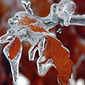 Iced Leaves-2 by Steve Somerville