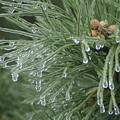 Iced Pine by Kathy Schumann