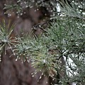 Iced Pine by Tamra Lockard