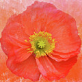 Iceland Poppy 3 by Isabela and Skender Cocoli