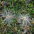 Icelandic Flora by Deni Dismachek