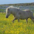 Icelandic Horse, Iceland by Ivan Batinic