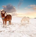 Icelandic Horses On Winter Day by Ingólfur Bjargmundsson