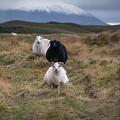 Icelandic Sheep by Michael Ver Sprill