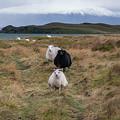 Icelandic Sheep Panorama by Michael Ver Sprill
