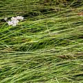 Icelandic Summer Flowers by KG Thienemann