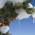 Icicles On Pine Tree by Sandy Swanson
