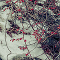 Icy Berries by Claudia M Photography