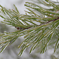 Icy Fingers Of The Pine by Douglas Barnett