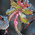 Icy Leaf by Lisa Gabrius