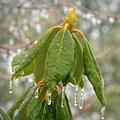 Icy Leaves by Kerri Farley