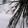 Icy Pine by Brian Anderson