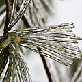 Icy Pines by Robin Lynne Schwind
