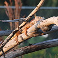 Igauna On A Stick by Rob Hans
