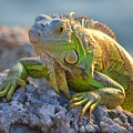 Iguana 2 by Dave Masters