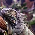 Iguana 338 by Joyce StJames