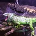 Iguana 339 by Joyce StJames