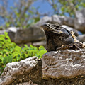 Iguana At Talum Ruins Mexico by Douglas Barnett