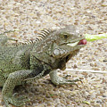 Iguana Eating Lettuce With His Tongue Sticking Out by DejaVu Designs