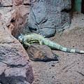 Iguana Iguana by Fabio Gomes Freitas