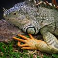 Iguana by Jacqui Boonstra