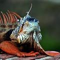 Iguana by Kenneth Imler