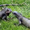 Iguana Kisses St Thomas by Charlene Cox