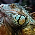 Iguana by Peteris Vaivars