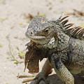 Iguana Sitting On A Sandy Beach In Aruba by DejaVu Designs