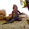 Iguana Watchout by Virginia Kay White