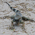 Iguana With A Striped Tail On A Sand Beach by DejaVu Designs