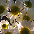 Illuminated Daisies Photograph by Kristen Fox