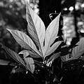 Illuminated Leaf, Black And White by Katherine Nutt