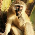 Illuminated Vervet Monkey  by Tom Broadhurst
