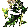 Illustration Of Black Henbane by Wellcome Images
