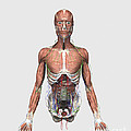 Illustration Of Upper Human Torso by Stocktrek Images
