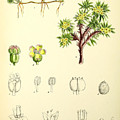 Illustrations Of The Flowering Plants And Ferns Of The Falkland by MotionAge Designs
