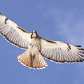 Img-0001 - Red-tailed Hawk by Travis Truelove