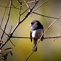 Img_0001 - Dark-eyed Junco - Snowbird by Travis Truelove
