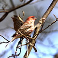Img_0001 - House Finch by Travis Truelove