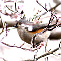 Img_0001 - Tufted Titmouse by Travis Truelove
